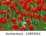 tulips | Shutterstock . vector #13895062