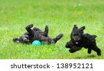 Stock photo adorable miniature poodle and cute toy poodle puppy having a great time in the yard in the spring 138952121