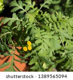 tansy chrysanthemum vulgare is... | Shutterstock . vector #1389565094
