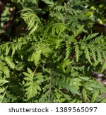 tansy chrysanthemum vulgare is... | Shutterstock . vector #1389565097