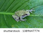 Gray Treefrog (Hyla versicolor) North American Tree Frog