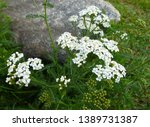 Common Yarrow  Achillea...