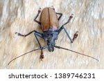 giant fijian longhorn beetle... | Shutterstock . vector #1389746231