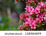 Azalea Blooming Pink And Purpl...