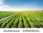 Potato Plantations Are Grow On...