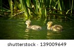 ducklings swimming in a pond | Shutterstock . vector #139009649