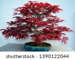 Maple Japanese bonsai. It is an Asian art form using cultivation techniques to produce small trees in containers that mimic the shape and scale of full size trees