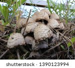A Patch Of Mushrooms In South...