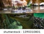 broad snouted caiman  caiman...   Shutterstock . vector #1390310801
