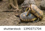 Stock photo couple of yellow footed tortoises mating during breeding season vulnerable reptile specie from 1390371704