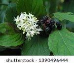Cornus sanguinea  the common...