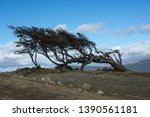 Big Tree Bent By The Wind On...