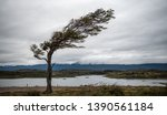 Tree Bent By The Extreme Wind...