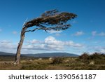 Tree Bent By The Wind On The...