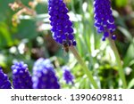 Grape Hyacinths With A Bee In...