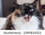 An Evil Beautiful Tricolor Cat...