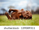 Stock photo happy dog rolling on the grass 139089311