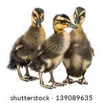 Three Ducklings   Indian Runne...