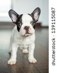 Stock photo french bulldog puppy 139115087