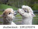 Flock Of Alpacas In Austria