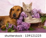 Stock photo british kitten rare color lilac and puppy red dachshund cat and dog 139121225