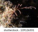 Small photo of Decorator spider crab, Achaeus