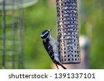 Downy Woodpecker  Picoides...