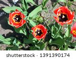 Tulip Flower. The Latin Name I...
