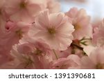 cherry flowers blossom in bloom.... | Shutterstock . vector #1391390681