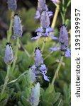 flowers of plectranthus... | Shutterstock . vector #1391399957