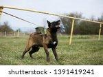 brown dog belgian malinois is...   Shutterstock . vector #1391419241