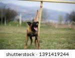 brown dog belgian malinois is...   Shutterstock . vector #1391419244