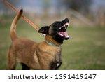brown dog belgian malinois is...   Shutterstock . vector #1391419247