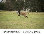 brown dog belgian malinois is...   Shutterstock . vector #1391421911