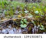 yellow flowers in the swamp.... | Shutterstock . vector #1391503871