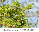 Small photo of Flowers and buds of Chocolate bine (Akebia quinata)