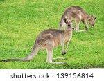 Two Kangaroos On Green Grass