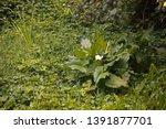 cluster of arum lilies in dense ... | Shutterstock . vector #1391877701
