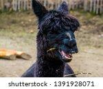 Funny Black Alpaca Chewing On...
