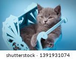 Stock photo scottish straight kitten a furry kitten looks to the left the cat conveniently laid down in the 1391931074