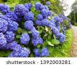 Tall Hedge Of Deep Blue Mop...