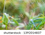 Wasp Spider In The Center Of...