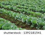 view of cabbage in the garden ... | Shutterstock . vector #1392181541