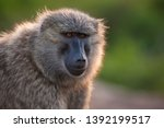 A Baboon Poses For A Photo...