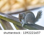 Closeup Of One Gray Squirrel I...