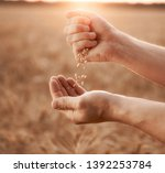 man pours wheat from hand to... | Shutterstock . vector #1392253784