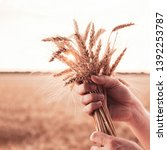 man hand hold wheat ears on... | Shutterstock . vector #1392253787