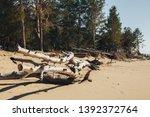felled trees  windbreak  wood... | Shutterstock . vector #1392372764