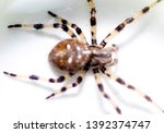 a typical spider from a uk... | Shutterstock . vector #1392374747