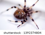 a typical spider from a uk... | Shutterstock . vector #1392374804